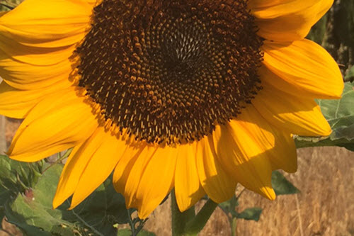 Sunflower gardening