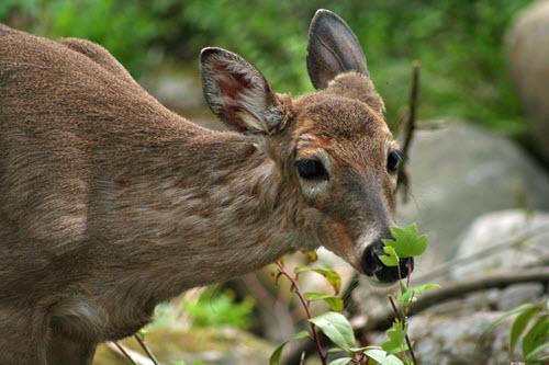 Deer and rabbit deterrent