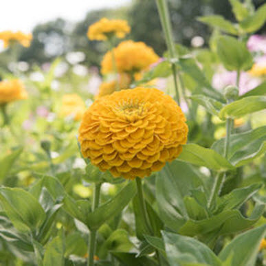 Giant Golden Yellow Zinnia